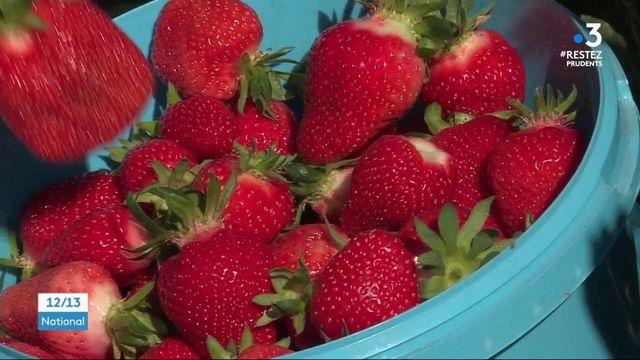 Alsace : de nombreux gourmands viennent ramasser les fraises dans les champs