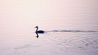 La grèbe huppée est un oiseau d'eau qui fait partie des espèces menacées par l'activité humaine selon l'UICN. (CHRISTIAN WATIER / MAXPPP)
