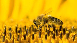 Une abeille fait son miel sur une fleur de tournesol. (FRANK BIENEWALD / LIGHTROCKET / GETTY IMAGES)