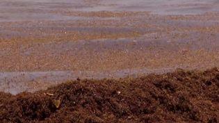 En Martinique et en Guadeloupe, les sargasses envahissent les côtes atlantiques. (CAPTURE D'ÉCRAN FRANCE 3)