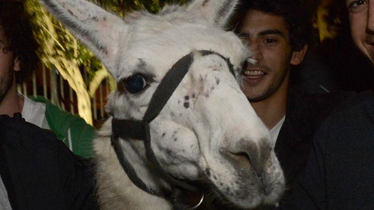 Serge le lama (MEHDI FEDOUACH / AFP)