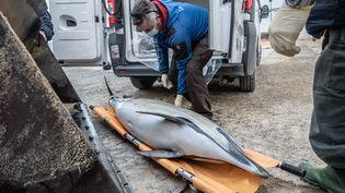 Des membres du centre Pelagis ramassent un dauphin échoué sur une plage près des Portes-en-Ré (Charente-Maritime) le 7 janvier 2021 (XAVIER LEOTY / MAXPPP)