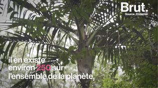 VIDEO. En Nouvelle-Calédonie, une espèce micro-endémique de palmier menacée (BRUT)