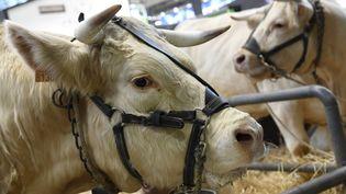 Une vache au Salon de l'Agriculture, à Paris, le 22 février 2020. (BERTRAND GUAY / AFP)