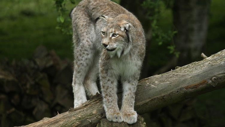 Un lynx dans le zoo de Thoiry (Yvelines), le 23 mai 2008. (JOEL SAGET / AFP)
