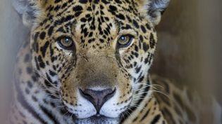 Un jaguar dans un centre pour animaux sauvages, en Argentine, le 28 novembre 2014. (DANIEL FOX / IMAGE SOURCE / AFP)