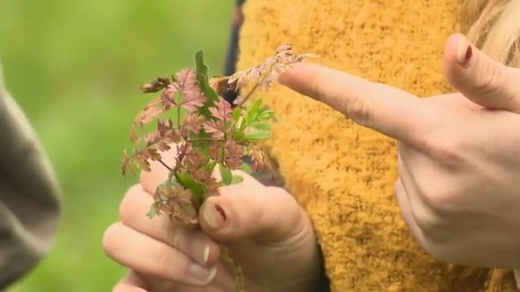 Une plante prélevée dans le bois de Vincennes, à Paris. (France 2)
