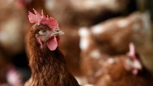Une poule de l'exploitation agricole Picorette et compagnie, à Laître-sous-Amance, en Meurthe-et-Moselle. (MAXPPP)