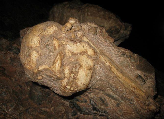 Crâne, face vers le bas, et humérus de l'australopithèque Little Foot en cours de dégagement dans la grotte de Silberberg à Sterkfontein (Afrique du Sud). (Laurent Bruxelles, Inrap)