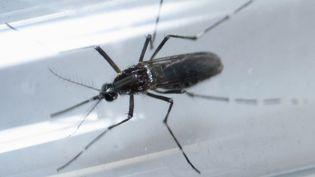 Un moustiqueAedes aegypti, vecteur de la maladie de Zika. (DANIEL BECERRIL / REUTERS)