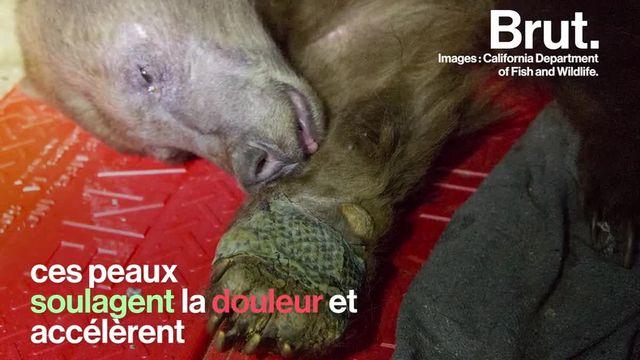brut : ourses brulées