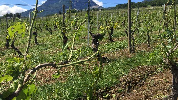Le vignoble d'Apremont est le plus touché : 300 hectares sont détruits. (SARAH GILMANT / RADIO FRANCE)