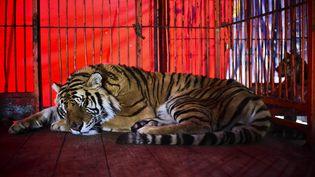 Un tigre dans une cage du cirque Hermanos Cedeno, à Chimalhuacan (Mexique), le 7 juillet 2015. (RONALDO SCHEMIDT / AFP)