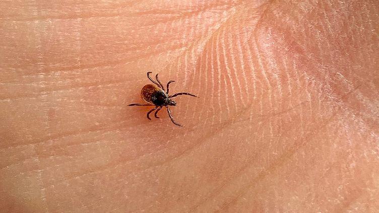Les tiques peuvent être susceptibles de transmettre la maladie de Lyme. (VANESSA MEYER / MAXPPP)