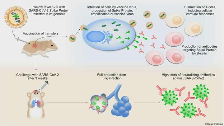 Ce schéma présente le principe du vaccin candidat développé par l'institut Rega. Une partie du génome du coronavirus (guidant la production de la protéine Spike S) est insérée dans le génome du vaccin contre la fièvre jaune, constitué de virus atténué. Celui-ci se multiplie dans les cellules et entraîne une réponse immunitaire spécifiqueà la pointe du coronavirus. En cas d'infection au Sras-Cov-2, les pointes sont neutralisées et le coronavirus ne peut plus se fixer aux cellules. (INSTITUT REGA DE LOUVAIN)