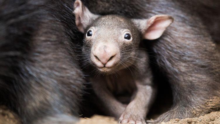 Des wombats àDuisbourg, en Allemagne, le 4 avril 2018. (ROLF VENNENBERND / DPA / AFP)