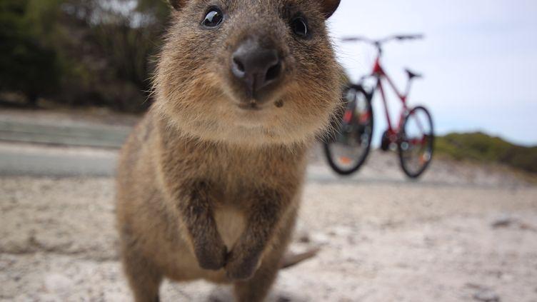 Un quokka à Rottnest Island, une île de l'Australie-Occidentale. (GETTY IMAGES / FLICKR RF)
