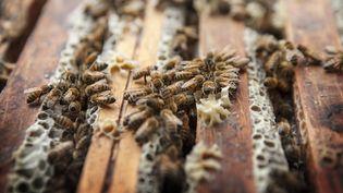Une ruche chez un apiculteur de Haute-Savoie, le 24 août 2015. (AMELIE-BENOIST / BSIP / AFP)