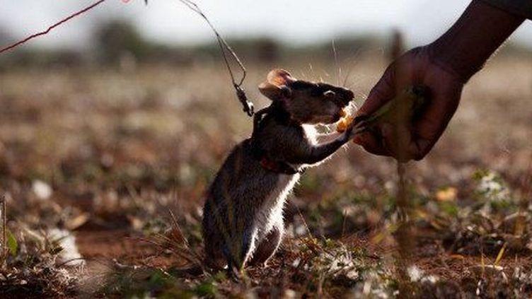 Le rat de Gambie, utilisé lors des opérations de déminage, travaille à la récompense. A chaque mine découverte, une cacahuète ou quelques bouchées de banane lui sont donc offertes. (AFP PHOTO/YASUYOSHI CHIBA)