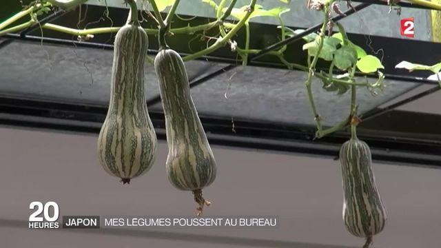 Japon : des légumes cultivés au bureau