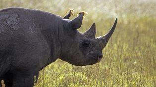 Selon les enquêtes, il ne reste plus que 5 000 rhinocéros noirs vivant à l'état sauvage. (ALAIN GUERRIER / AFP)