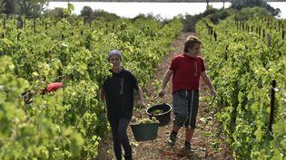 Deux personnes collectent des grappes de muscat pendant les premières vendanges de l'année au Champs des Soeurs à Fitou le 5 oaût 2021. (RAYMOND ROIG / AFP)