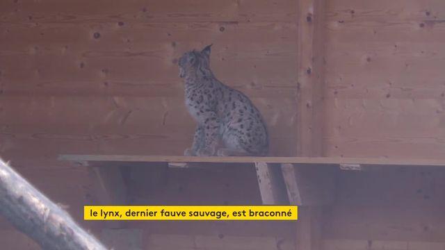 Braconnage d'un lynx
