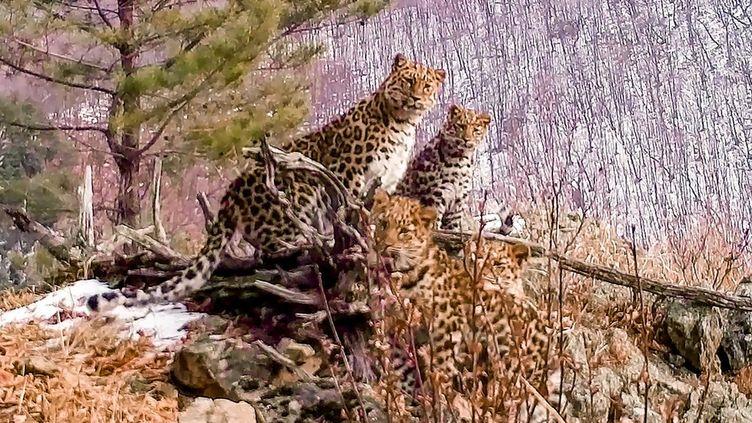 Une femelle léopard de l'Amour et ses petits, photographiés en décembre 2020 en Russie. (HANDOUT / THE LAND OF THE LEOPARD NATIONAL / AFP)