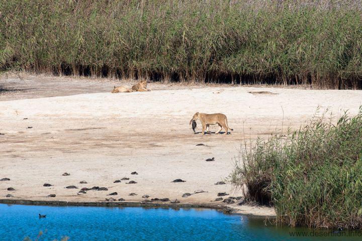Une lionne du désert se nourissant d'un cormoran sur la Skelton Coast, au nord-ouest de la Namibie. (Namibian Journal of Environment)