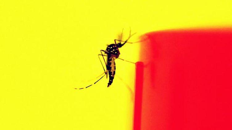 (Le moustique tigre est désormais implanté dans 25 départements © MAXPPP)