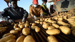 Des ouvriers agricoles trient des pommes de terre, dans une ferme à Godonville (Eure-et-Loir), le 11 septembre 2020. (JEAN-FRANCOIS MONIER / AFP)