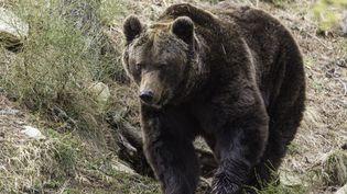 Un ours dans le parc naturel des Pyrénées,en avril 2014. (MAXPPP)