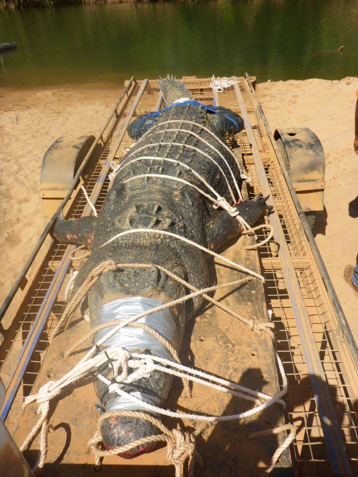 Les gardes forestiers du Territoire du Nord (Australie) ont capturé un énorme crocodile marin de 600 kilogrammes, le 9 juillet 2018. (NORTHERN TERRITORY PARKS AND WILDLIFE / AFP)