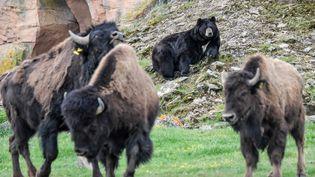 Un troupeau de bisons près de Nantes, le 3 mai 2019. (LOIC VENANCE / AFP)