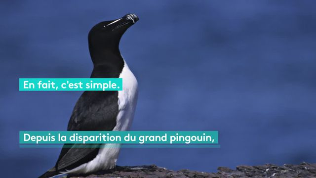 Pingouin ou manchot ?