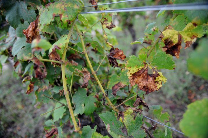 Des vignes touchées par le mildiou sur une exploitation à L'Etoile (Jura), le 5 août 2016. (MAXPPP)