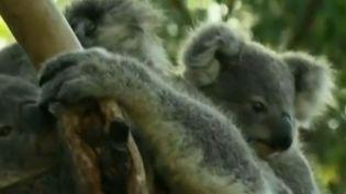 Des koalas de l'Australian Reptile Park, à Gosford (Australie), le 15 janvier 2016. (REUTERS)