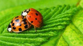 Nos amiesles coccinelles, de magnifiques insectes à protéger absolument  (EPA / MAXPPP)
