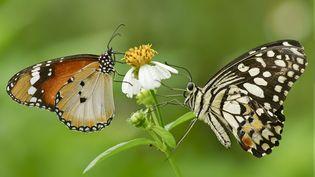 Deux papillons de prairie butinent une fleur. (ANNA KWA / GETTY IMAGES)