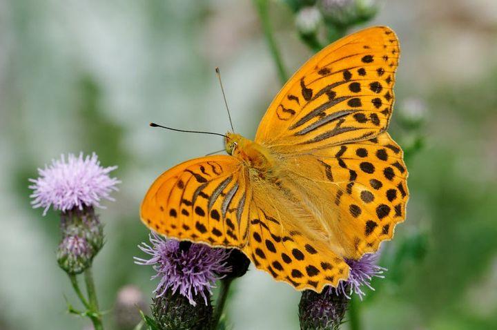 Le tabac d'Espagne est un papillon caractérisé par son fond jaune fauve et ses lignes et tâches brun noir. (JPAQUETVENCE / WIKIPEDIA, CC BY-NC-SA)