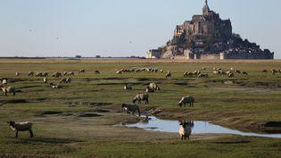Des moutons broutent tranquillement devant le Mont-Saint-Michel, le 31 octobre 2015, en Normandie. (CHARLY TRIBALLEAU / AFP)