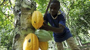 Un jeune garçon récolte des cabosses de cacao dans une plantation de Divo en Côte d'Ivoire, le 31 octobre 2010. (Photo AFP/Sia Kambou)