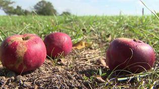 Alsace : une entreprise donne une seconde vie aux fruits abandonnés dans les vergers. (FRANCE 3)