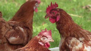 Bien-être animal :une association à la rescousse des poules destinées à l'abattoir  (France 3)