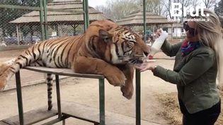 Le zoo de Lujan, animaux dressés ou drogués ? (Brut.)