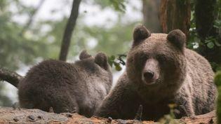 Deux ours dans une forêt de Slovénie (DELTA IMAGES / CULTURA CREATIVE)
