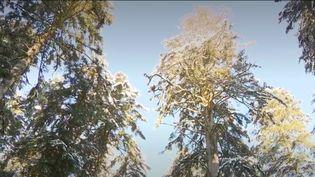 Celui qui semble êtrele plus haut et le plus ancien sapin du Doubs sera bientôt abattu car les sécheresses à répétition l'ont grandement fragilisé,rapporteFrance 2, mardi 12 janvier.  (France 3)
