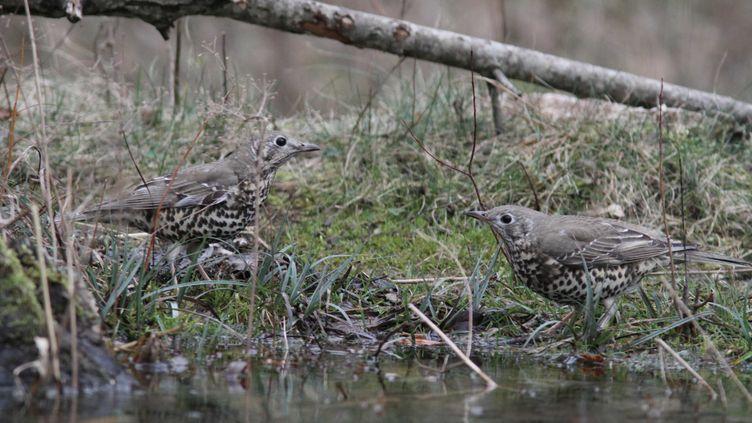 Les quotas d'oiseaux pour la chasse ont été revus à la baisse, le 28 septembre 2018. Les grives font partie des espèces d'oiseaux ciblées par la chasse traditionnelle. (JEAN-FRANCOIS NOBLET / BIOSPHOTO / AFP)