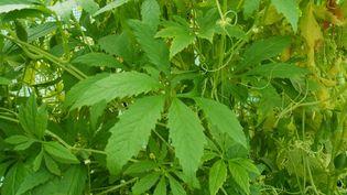 Le cyclanthère, plante comestible (Société d'horticulture de France)