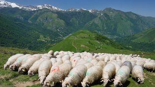 Des brebis dans les Pyrénées, le 11 août 2014. (GEORGES LOPEZ / BIOSPHOTO / AFP)